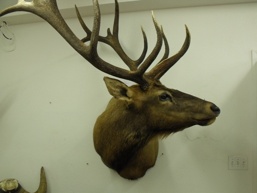 Click on photo of Elk for close up detail